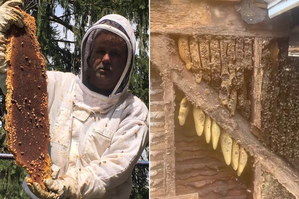 450.000 abejas desalojadas de una casa de 35 años en las paredes de una granja