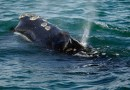 La pesca de langosta enfrenta restricciones en un esfuerzo por salvar a las ballenas