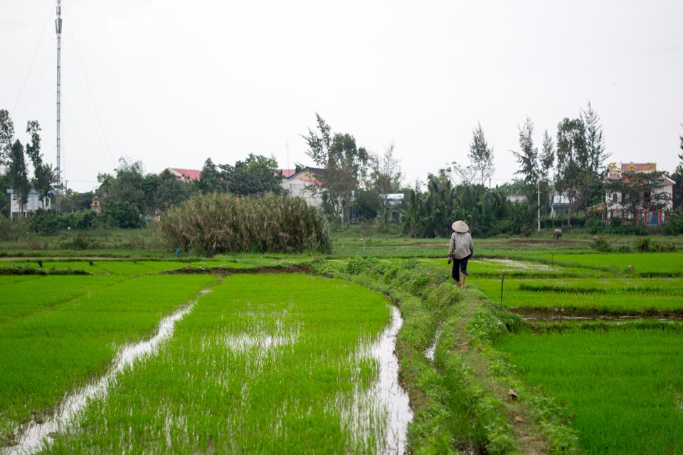 Woman in cone hat walking along rice paddies