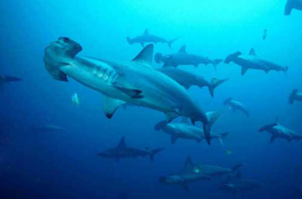 Webp.net-resizeimage-2 Scuba Diver Shocked to Find Bodies of Hammerhead Sharks Chopped Up on Sabah Island