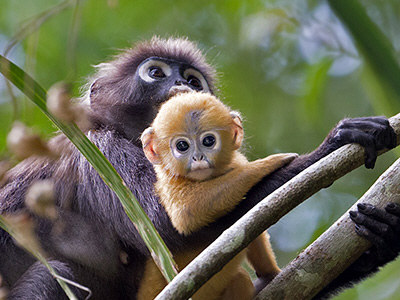 gibbon-2 It's Becoming More Common To Own Endangered Animals In Malaysia & No, It's Not a Good Thing