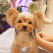 adorable yorkie haircuts