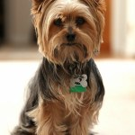 Most Popular Yorkie Haircut Trends Yorkie Haircuts