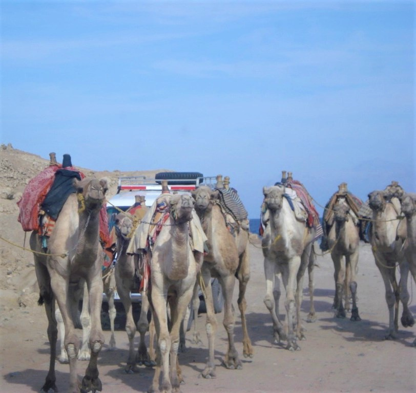Camels walking on a road at the Blue Hole near Dahab, Egypt
