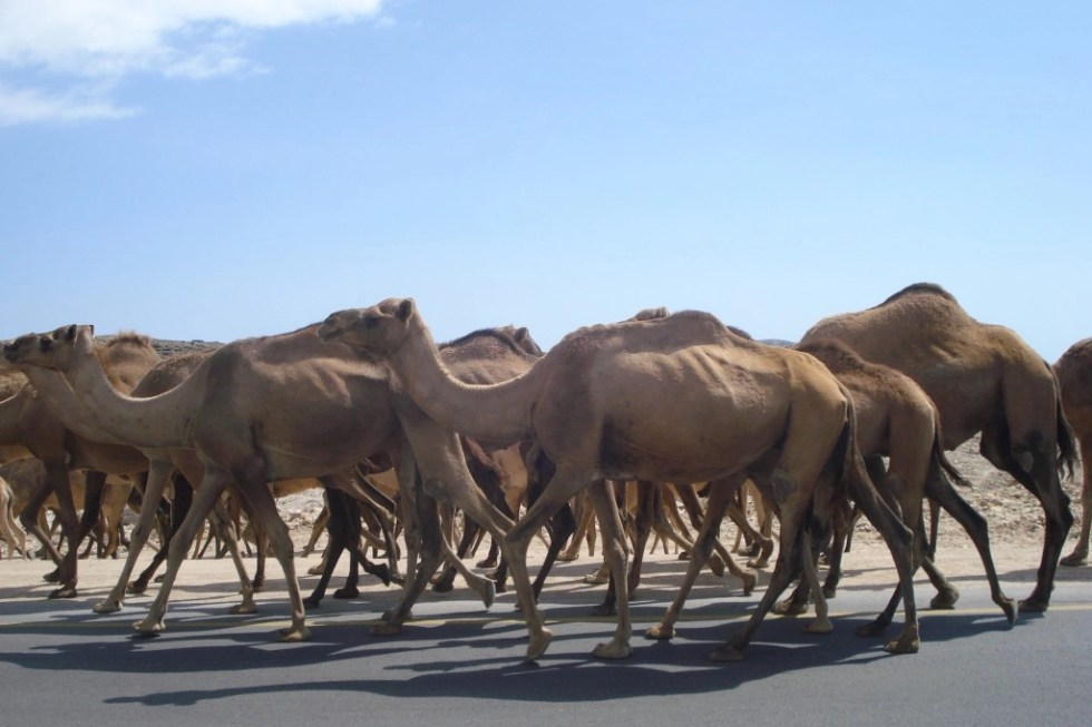 Large herd of camels walking down a paved road in between Salalah and Mirbat, Oman