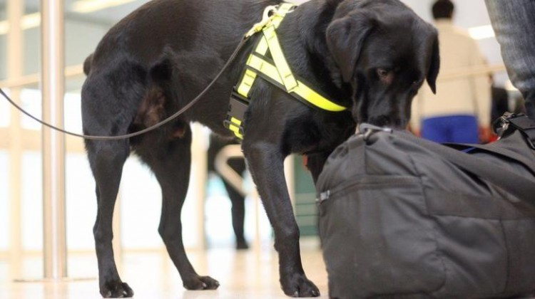 sniffer dogs at manchester airport don't want drugs, they want cheese