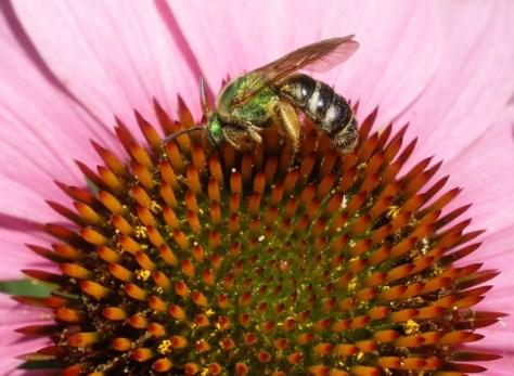Green Bee 1