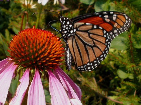 Monarch Butterfly 1