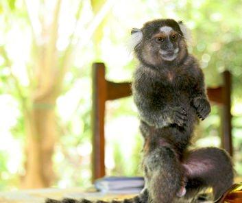 Aratuba Monkey2