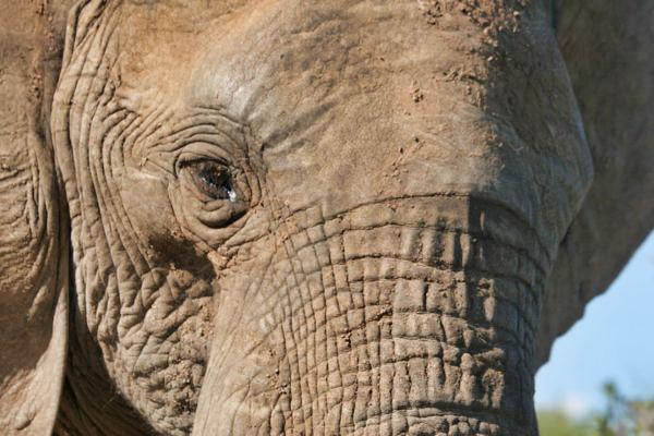 Elephant Eye-1