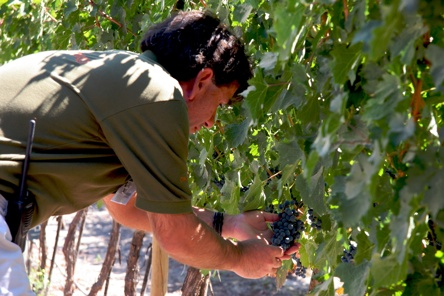 Examinging Concho Grapes