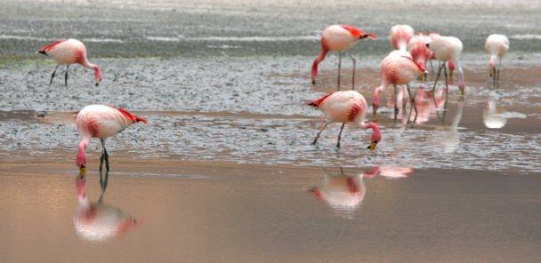 Flamingoes2
