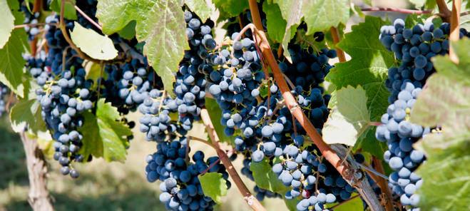 Hanging Onthe Vine