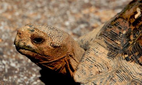 Leopard Turtle-1