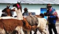 Llamas1