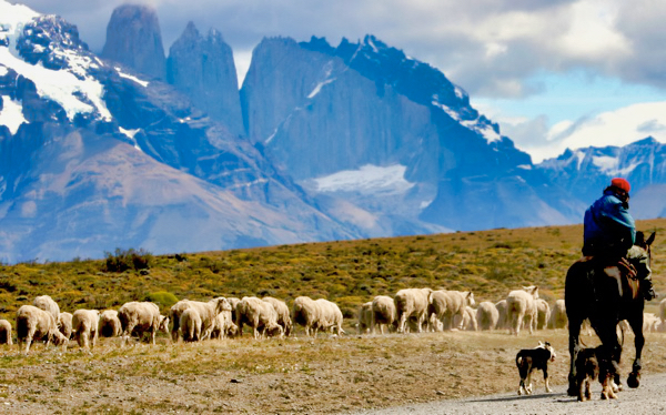 Sheep Herder Tdp Torres