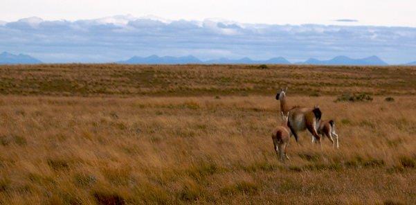 Tierra Del Fuego Guanacos