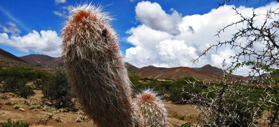 Uyuni Road Cacti