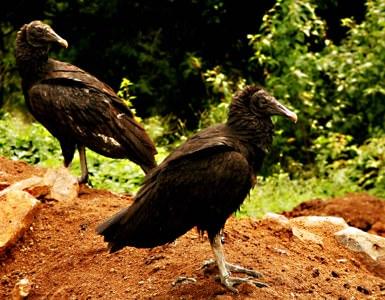 Vultures Nicaragua