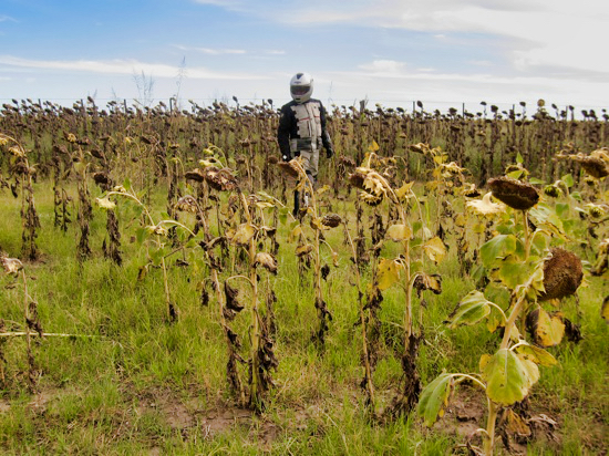 Worldrider Standing Sunflowers
