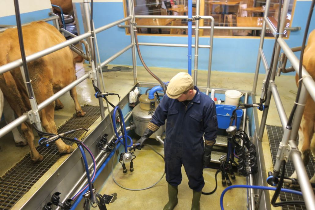 Milking cows, see below how I connected with local cows at Vogafjós.