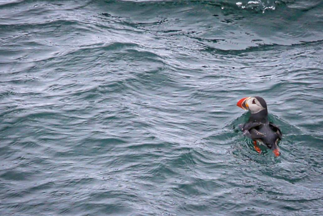 The strange puffin, perhaps a better swimmer than flyer!