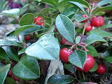 Gaultheria Procumbens (Wintergreen) Seeds