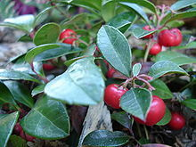 Gaultheria Procumbens (Wintergreen) Seeds