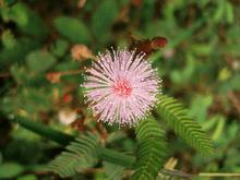 Mimosa Pudica (Sensitive Plant) - Live Plant