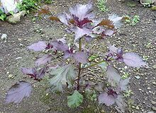 Perilla Frutescens (Red Shiso) Seeds