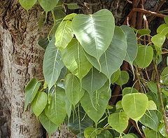 Ficus Religiosa (Bodhi / Bo tree) Seeds