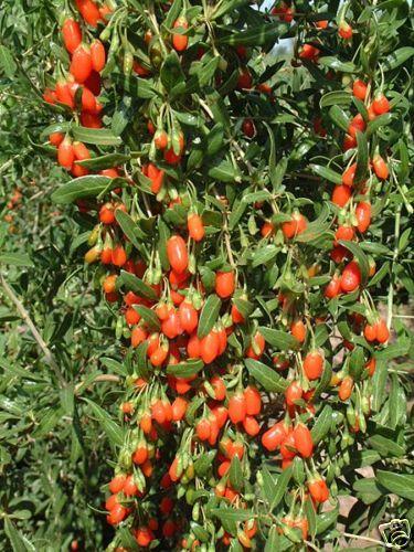 Lycium Chinense (Himalayan Goji Berry) Seeds
