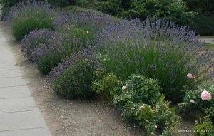 Lavandula Offinalis (English Lavender) Seeds