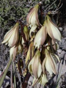 Yucca Baccata (Banana Yucca) Seeds