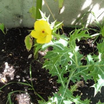 Agremone Mexicana  (MEXICAN PRICKLY POPPY ) Seeds