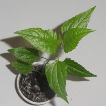 """Calea Zacatechichi (Dream Herb) """"Sweet Dreams"""" Clone - Live Plant"""