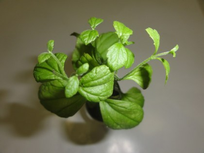 Calea Zacatechichi (Dream Herb) seed pods
