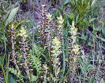 Pedicularis Canadensis (Canadian Lousewort) Seeds
