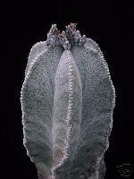 """Astrophytum Myriostigma cv. """"Columnare"""" Seeds"""