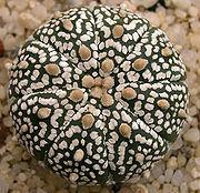 Astrophytum Asterias cv. 'Super Kabuto' Seeds