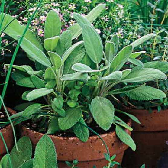 Herb garden, Sow sage seeds to grow them indoors in spring