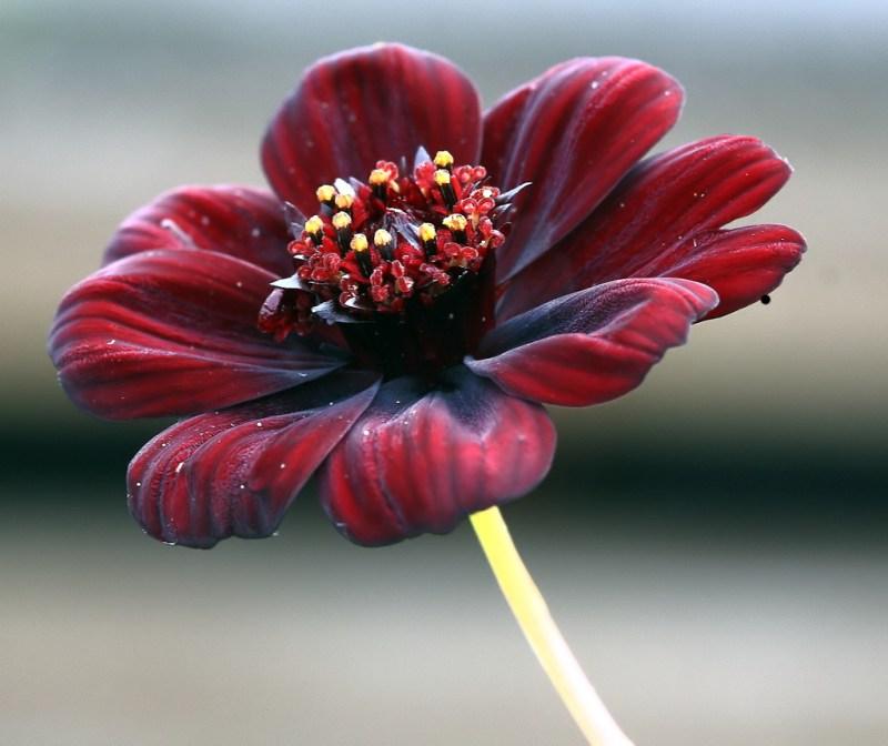Chocolate Cosmos Flowers