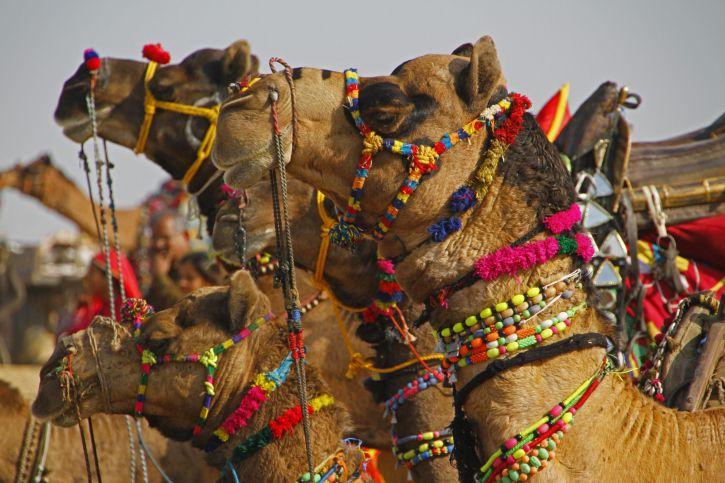 Indian Festivals in January - Bikaner Camel Fair