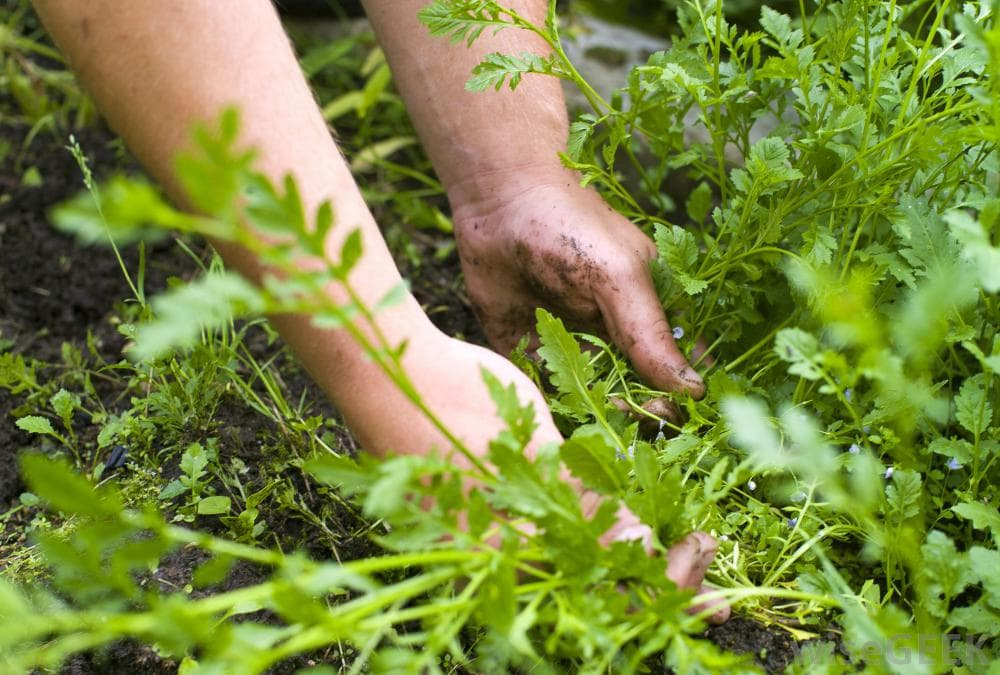 Lawn Care and Maintenance Practical Tips Treating Broadleaf Weeds