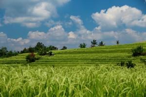 Rice terraces Bali