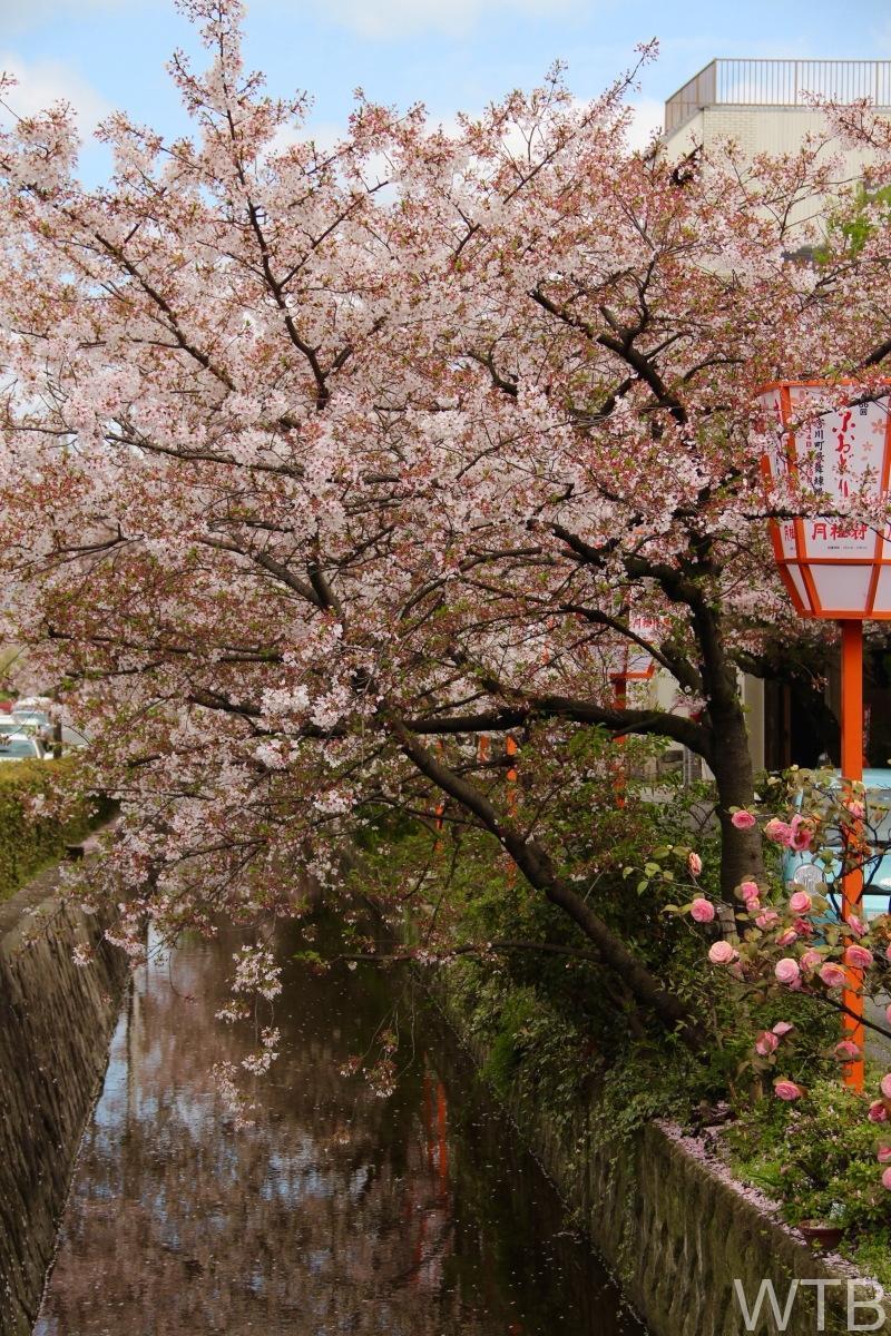 Sakura-32