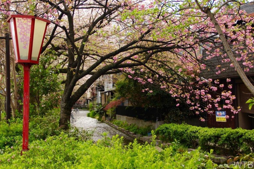 Sakura-50
