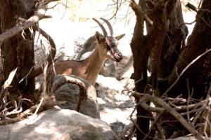 Samaria Gorge - endangered kri-kri - @World Travel Mama