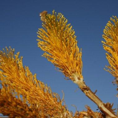 Australia wildflowers