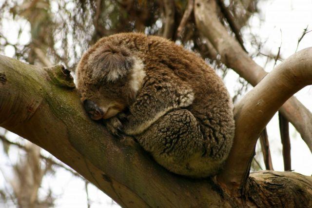 Koala, Kennetts River, Great Ocean Road